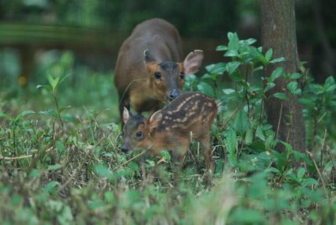 台湾山羌频报喜 动物园迎小宝宝
