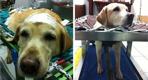 拉不拉多犬癱瘓 針灸治療一個月後能走路
