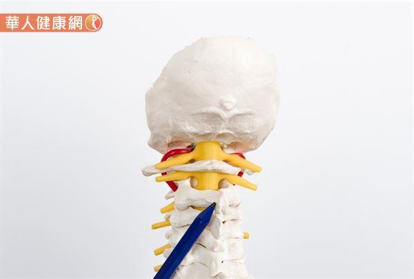 頸椎中擁有身體最大副交感神經——迷走神經(vagus nerve)的存在。故姿勢不良引起的脊椎錯位、駝背等頸椎異常問題,更是誘發「自律神經失調」的關鍵因素之一。