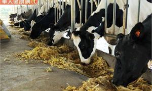 金門首現牛結節疹案例,金門生鮮牛肉禁止輸台!會傳人嗎?農委會解答了!