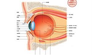為何眼睛能辨色、感光?常眼壓高頭痛,當心青光眼症狀!日本醫詳解眼睛構造