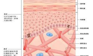 皮膚如何調節體溫?異位性皮膚炎成因為何?皮膚構造、作用圖解一次看懂